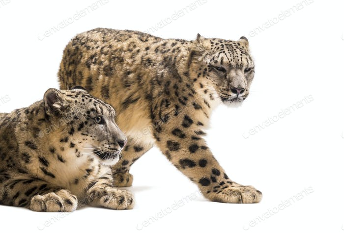 Snow leopards, Panthera uncia, also known as the ounce walking against white background