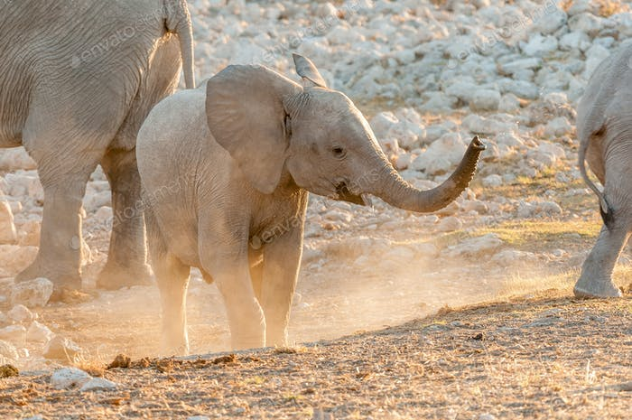 African Elephant calf at sunset in Northern Namibia