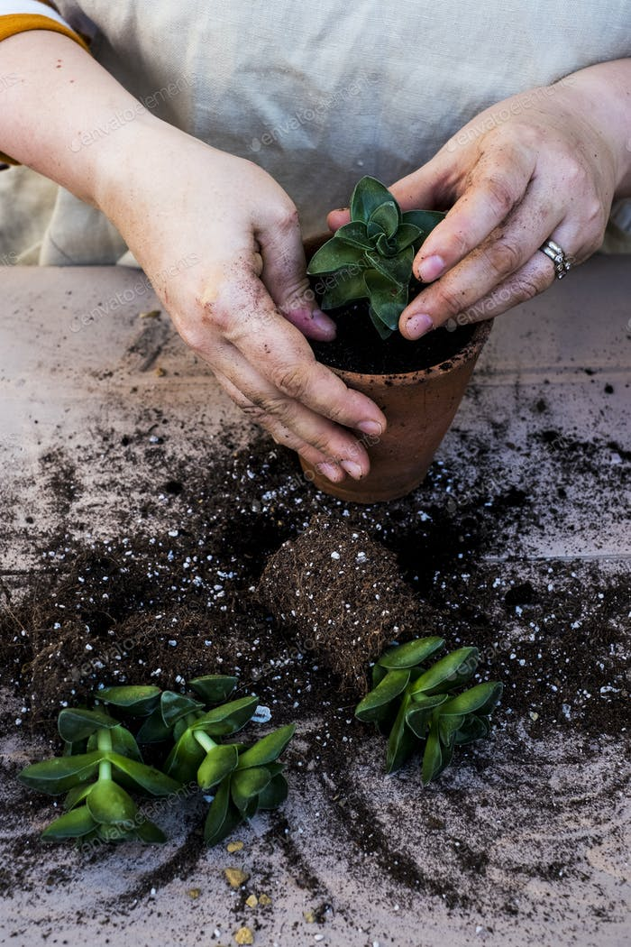 High angle close up of person planting succulent in potting soil in a terracotta pot, succulent