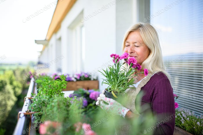 Senior woman gardening on balcony in summer, holding potted plant