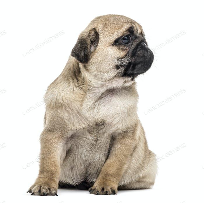 Pug puppy sitting, looking away, isolated on white