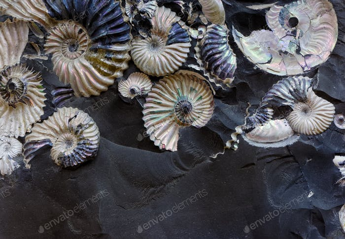 Fossilized seashells in a black stone