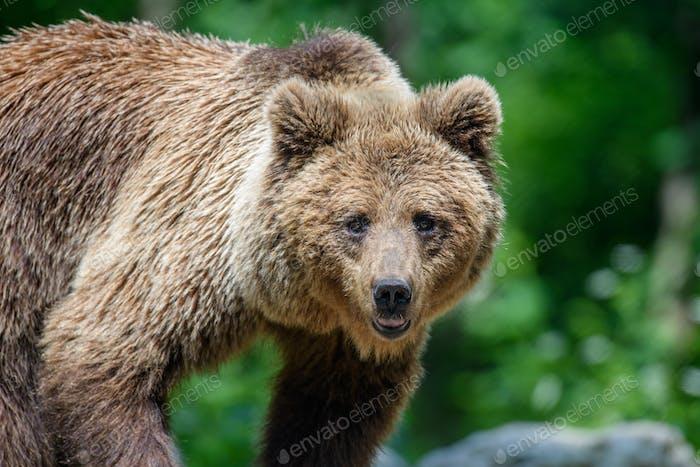 Portrait wild Brown Bear in the summer forest. Animal in natural habitat. Wildlife scene