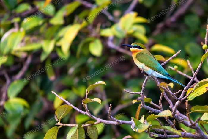Blue-tailed Bee-eater or Merops philippinus perches on tree branch