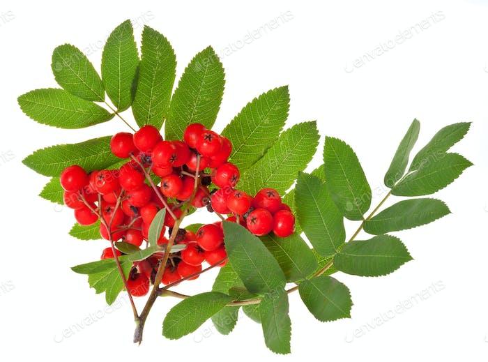 rowan berries and green leaves
