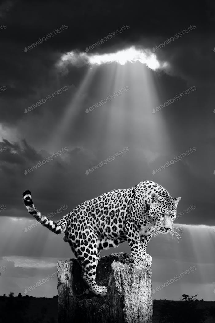 Leopard in the wild - National park Kenya