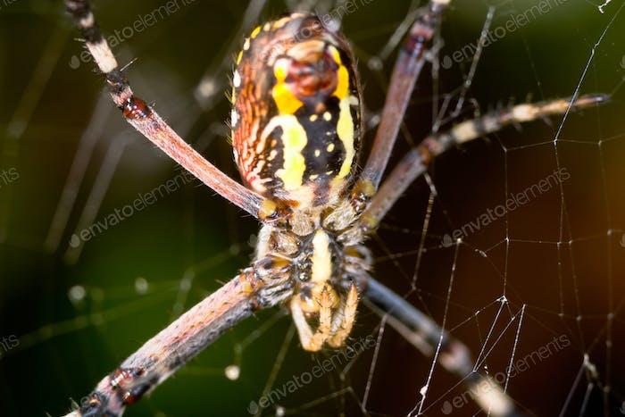 Spider, Argiope bruennichi