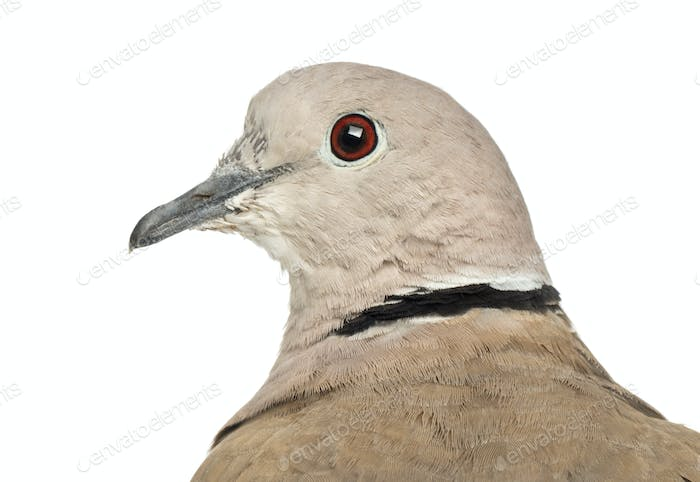 Eurasian Collared Dove, Streptopelia decaocto, often called the Collared