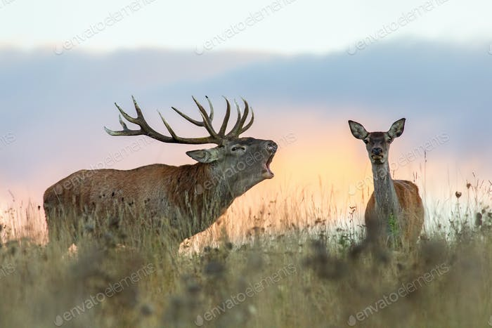 Red deer, cervus elaphus, couple during rutting season