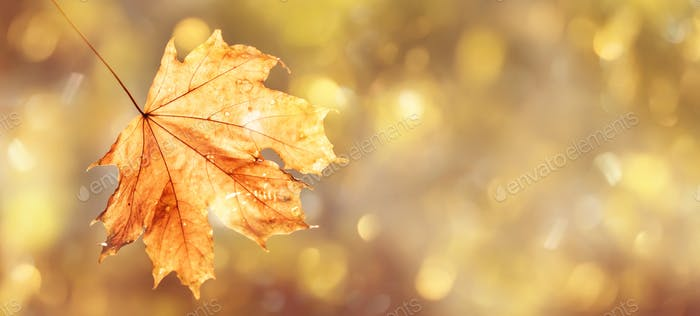 Autumn natural background with orange maple leaf, fall bright landscape, banner