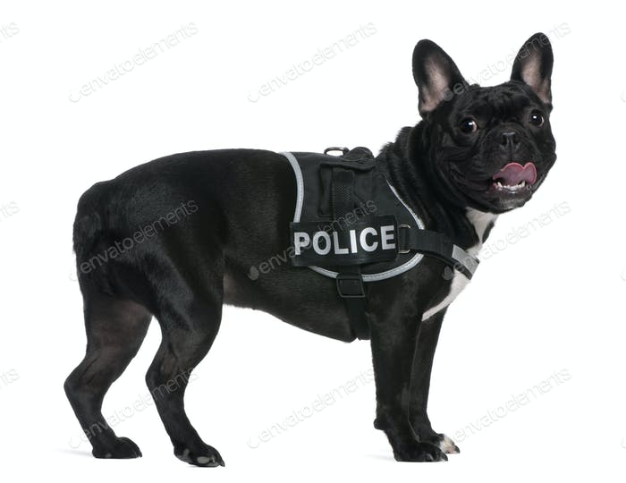 French Bulldog, 2 years old, wearing a police harness standing in front of white background