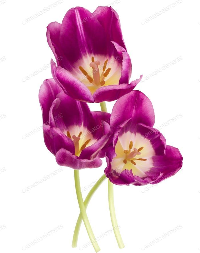 Drei lila Tulpenblüten isoliert auf weißem Hintergrund Ausschnitt