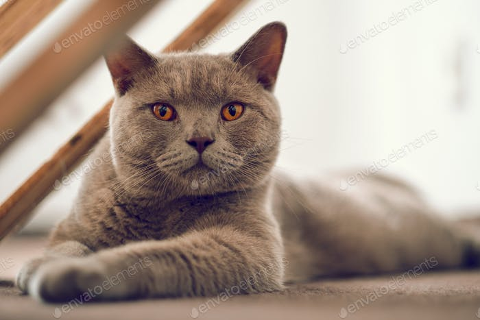 Purebred British Shorthair cat indoor portrait