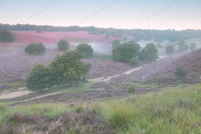 pink flowering hills in summer morning