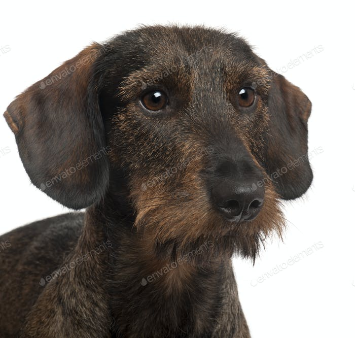 Close-up of Dachshund, 2 years old, in front of white background