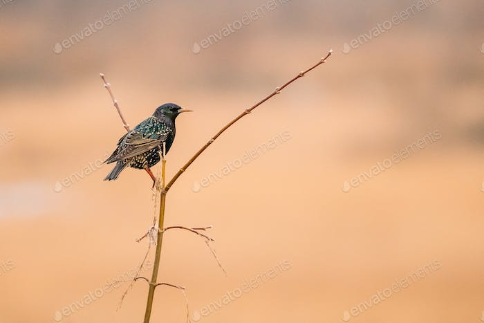 Wild Forest Bird Common Starling Sitting In Branch Tree In Sprin