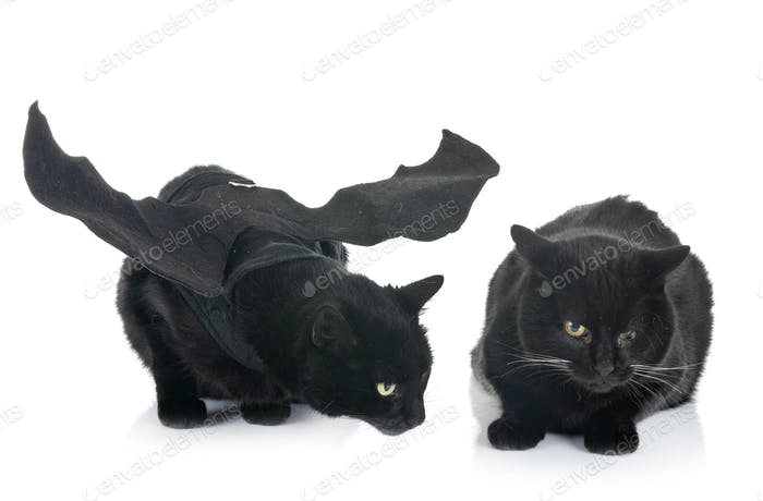 bat cats in studio