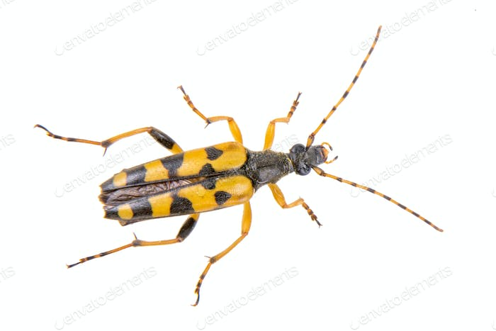Yellow black bug on a white background