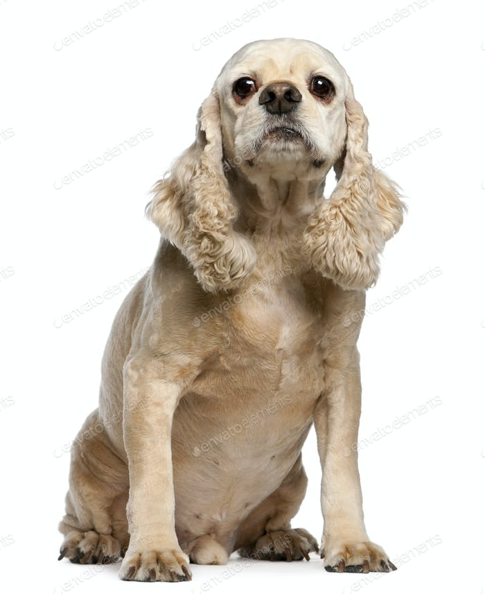 American Cocker Spaniel, 9 years old, sitting in front of white background
