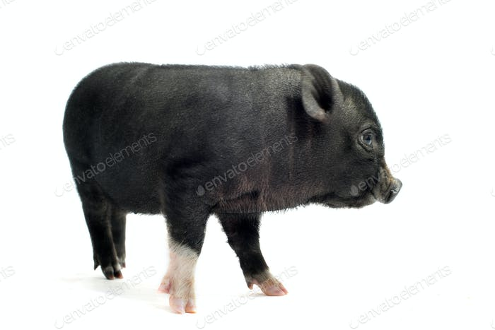 liitle piggy