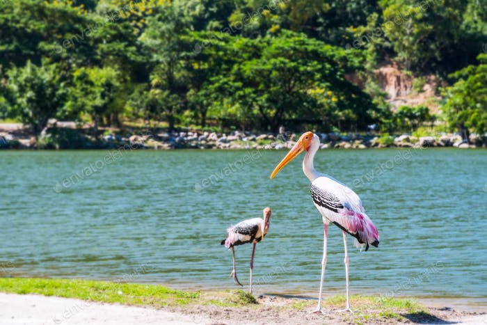 Bird pair of Painted stork are walking foraging