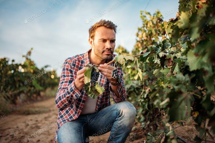 Young man grabbing a grape in a vineyard