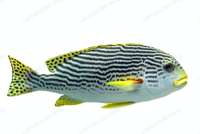 Plectorhinchus lineatus