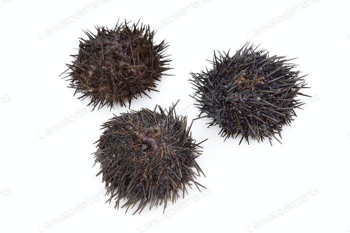 Fresh raw sea urchins
