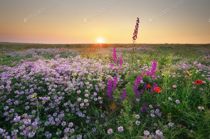 Spring flower in meadow at sunrise.