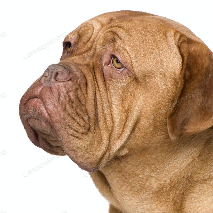 Dogue de Bordeaux (2 Jahre)