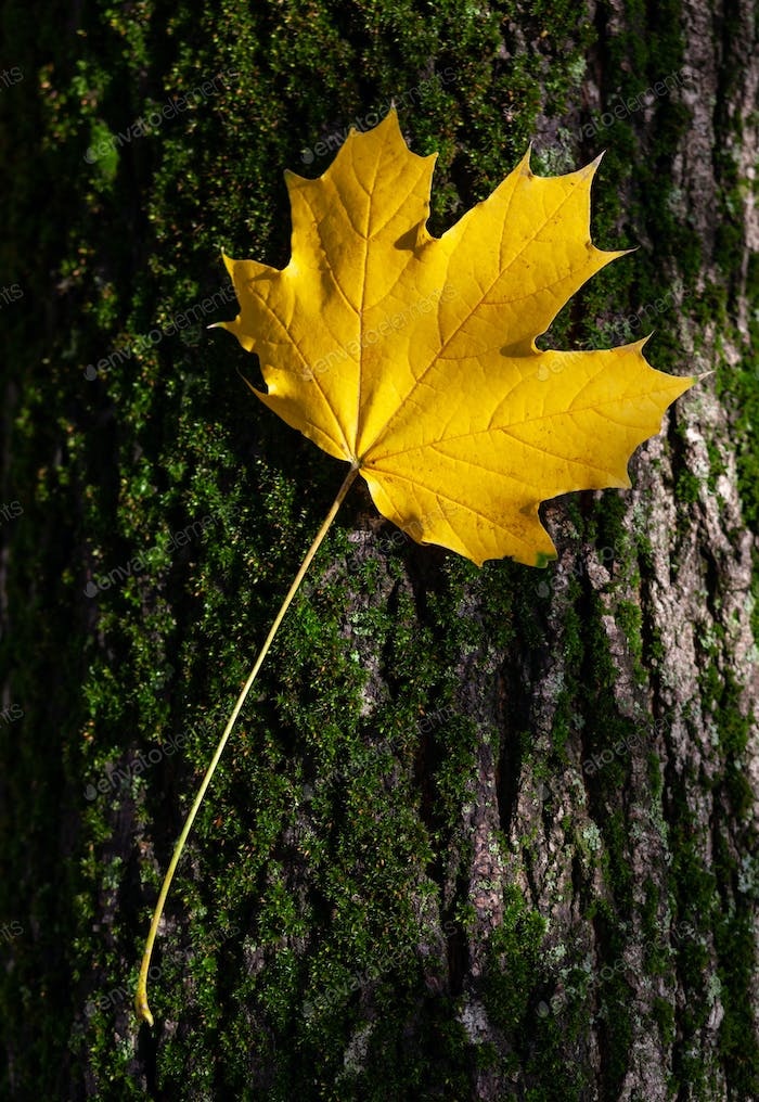 Yellow maple leaf on tree trunk, fall concept.