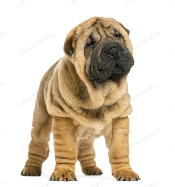 Front view of Shar pei puppy looking away (11 weeks old) isolated on white