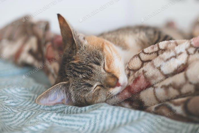 Young european shorthair cat sleeping in bed