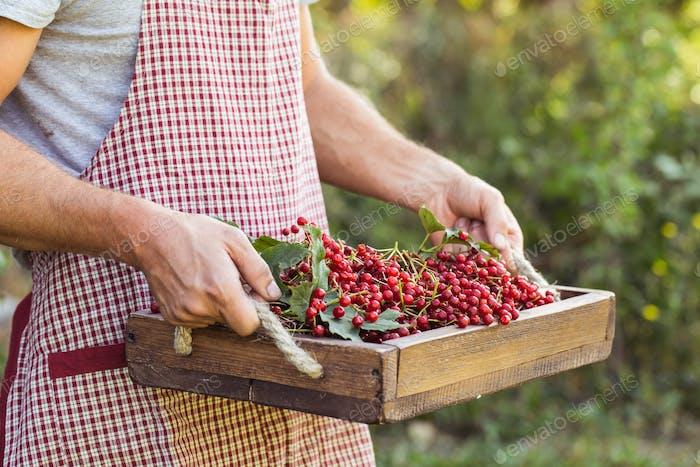 Farmer holds red viburnum berries