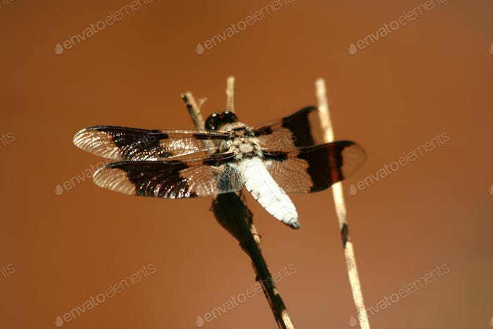 Common whitetail male dragonfly