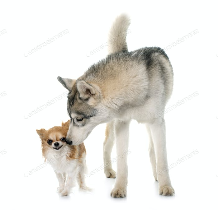 gray siberian husky and chihuahua