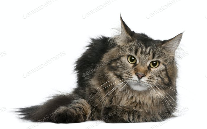 Maine coon, 1 year old, lying in front of white background