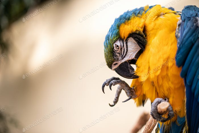 Bird Ara ararauna, blue and yellow macaw aka Arara Canindé, exotic brazilian bird cleaning feathers