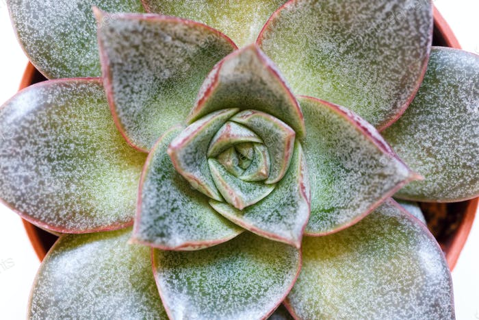 Succulent close up