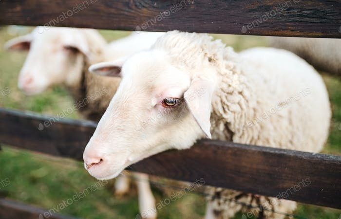 Sheep standing by wooden face on farm in summer