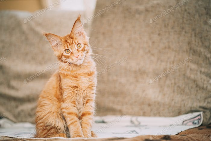 Funny Curious Young Red Ginger Maine Coon Kitten Cat Sitting At Home Sofa. Coon Cat, Maine Cat