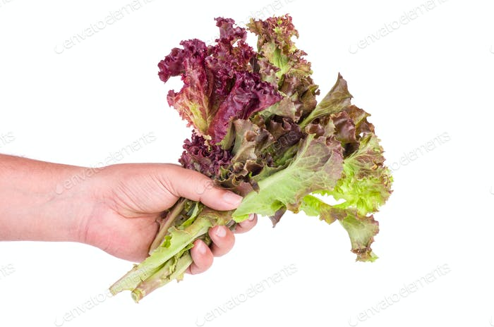 Hand hold bunch of Red leaf Lettuce