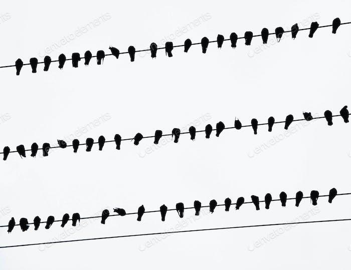 Eine Herde von Krähen auf elektrischen Leitungen in Seattle