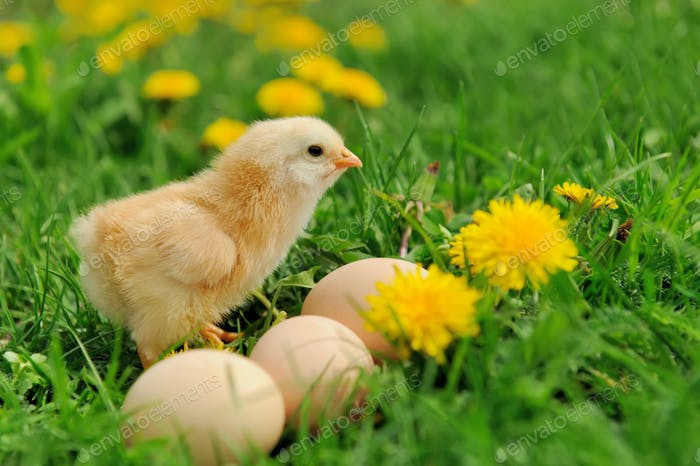 Little chickens on a grass