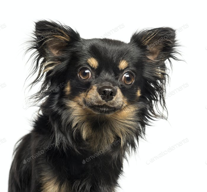 Close-up of a Chihuahua looking at the camera, 2 years old, isolated on white