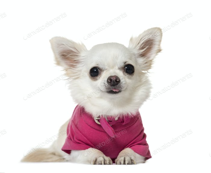 Portrait of a Chihuahua Dog lying down in front, cut out