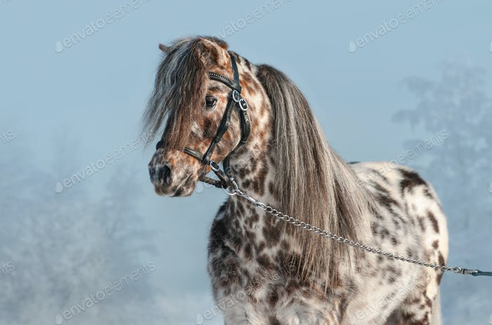 Portrait of Appaloosa miniature horse in winter landscape.