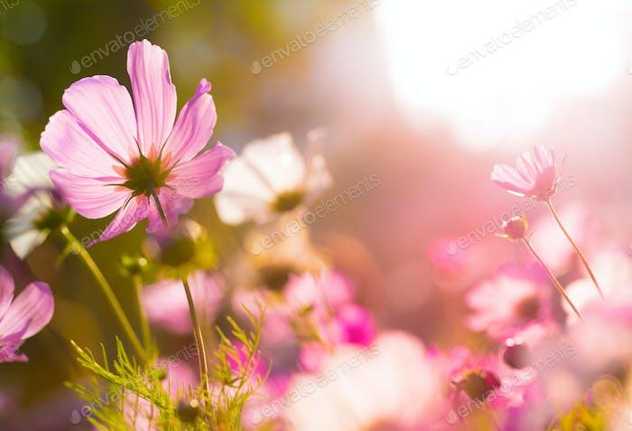 Cosmos flowers under sunlight