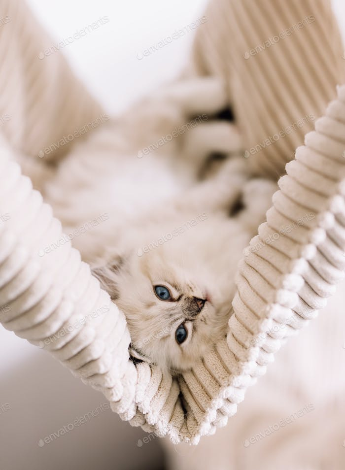 Ragdoll cat, small cute kitten portrait in funny pose at home