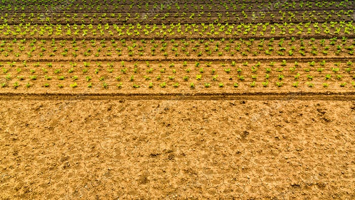 Organically cultivated corn in a field